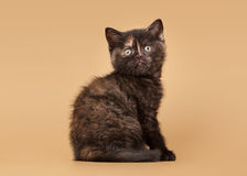 Small black tortoise british kitten Stock Images