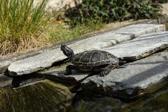 Small black turtle sitting on concrete rock next to water pond Royalty Free Stock Photography