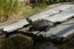 Small black turtle sitting on concrete rock next to water pond Stock Photography