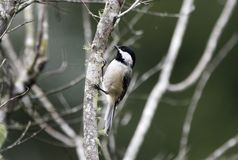 Carolina Chickadee songbird, Georgia USA royalty free stock photography