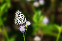 Small black and white butterfly sucking food Stock Image