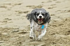 Small black and white cavachon dog running on the beach. In Southern California Royalty Free Stock Image