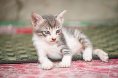 Small black white and cute kitten Stock Photo