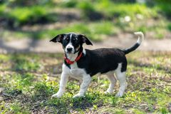 Small black and white dog on a background of green grass stock images