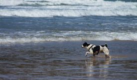 Small black and white dog at the edge of the water. royalty free stock photography