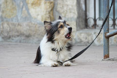 A small black and white dog waiting for the owner and tied to the store Stock Images