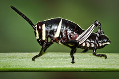 Small Black and White Grasshopper Nymph Royalty Free Stock Photos