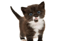 Small black-white kitten Royalty Free Stock Image