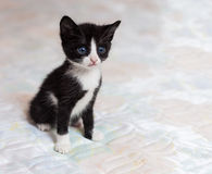 Small black-white kitten on a background Royalty Free Stock Photo
