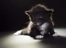 Small black and white kitten Stock Photos