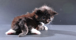 Small black and white kitten Stock Images