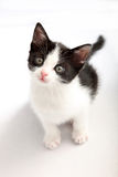 Small, black and white kitten look up Royalty Free Stock Photo