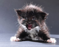 Small black and white kitten meowing Stock Photography