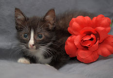 Small black and white kitten and  red flower Stock Photos
