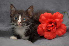 Small black and white kitten and  red flower Royalty Free Stock Images
