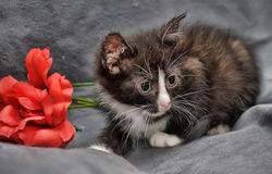 Small black and white kitten and  red flower Stock Photography