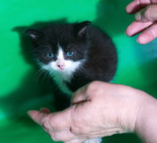 Small black and white kitten standing in front of human hands on Royalty Free Stock Photography