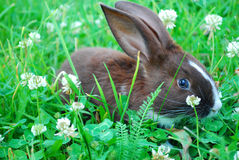 Small black-and-white rabbit sitting on the grass. Royalty Free Stock Images