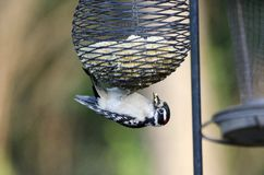 Downy Woodpecker hanging from suet bird feeder, Athens Georgia USA. A small black, white and red Downy Woodpecker, Picoides pubescens, bird eating peanut butter Stock Photo