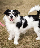 Small Black and White Terrier Standing with Mouth Open Stock Image