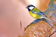Great tit on tree Royalty Free Stock Photos