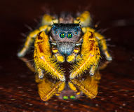 Small Black and Yellow Jumping Spider Macro. Black and Yellow Jumping Spider Macro Stock Photo