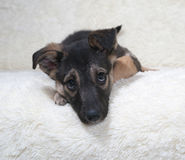 Small black and yellow puppy lies on fur sofa Stock Images