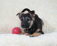 Small black and yellow puppy lying next to ball on fur sofa Stock Photos