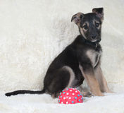 Small black and yellow puppy sitting on white fur sofa Royalty Free Stock Photos