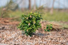 Small blooming bush garden cranberries. Isolated photo. Small blooming bush garden cranberries flowers gardening isolated photo fresh berry cranberry green plant royalty free stock photo