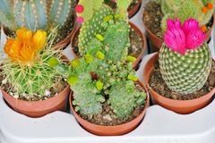 Small blooming cacti of different colors royalty free stock image