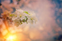 Small blossoming branch of appletree on blurred sunny background Stock Photography