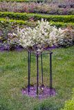 A small blossoming decorative tree on a flower bed Royalty Free Stock Image