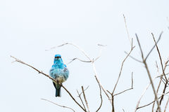Small blue bird with ruffled feathers Stock Images