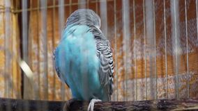 Small blue budgerigar cleans feathers on the wing Stock Images