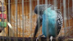 Small blue budgerigar sitting in a cage and cleans feathers Stock Photo