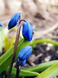 Small blue buds of bluebells stock images