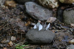 Small Blue Butterfly Stock Images