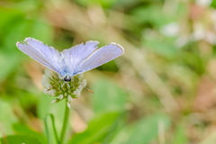 Small Blue Butterfly Stock Photos