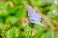 Small Blue Butterfly Royalty Free Stock Photography