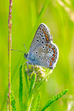 Small blue butterfly Royalty Free Stock Photos