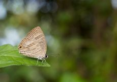 Small blue butterfly Jamides celeno is having a rest stock image