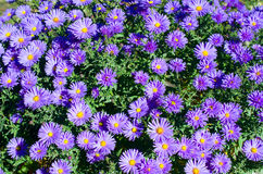 Small blue chrysanthemum. Are blooming in the garden Stock Photography