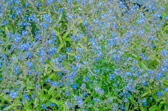 Small blue ciel flowers Royalty Free Stock Photos
