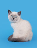 Small blue color point british kitten Royalty Free Stock Photo