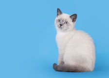 Small blue color point british kitten on light blue Royalty Free Stock Images