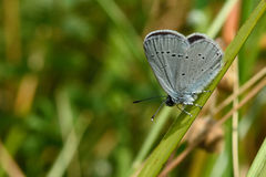 Small blue (Cupido minimus) showing underside of wings Stock Photography