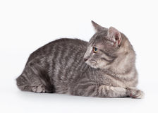 Small blue domestic kitten Royalty Free Stock Images