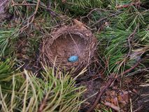 Small blue egg. Fallen small blue egg in nest, summer forest Stock Photography
