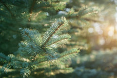 Small blue fir tree in sunset Stock Photo